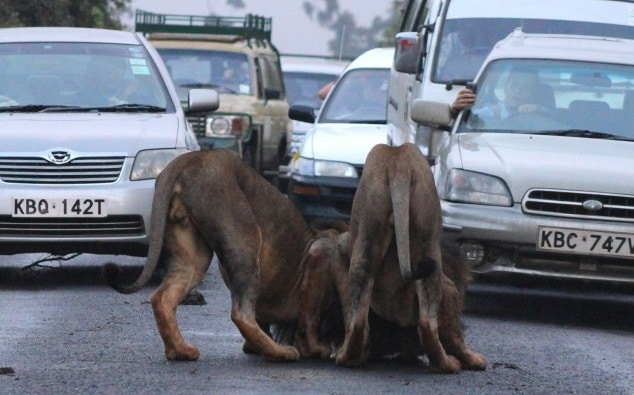 Huge tailbacks as playful lions bring cars to a standstill