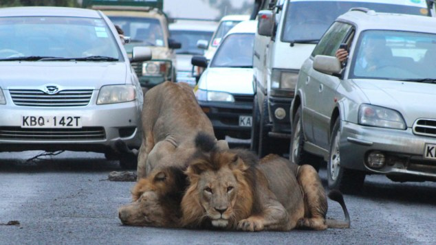 Strolling Lions Stop Traffic