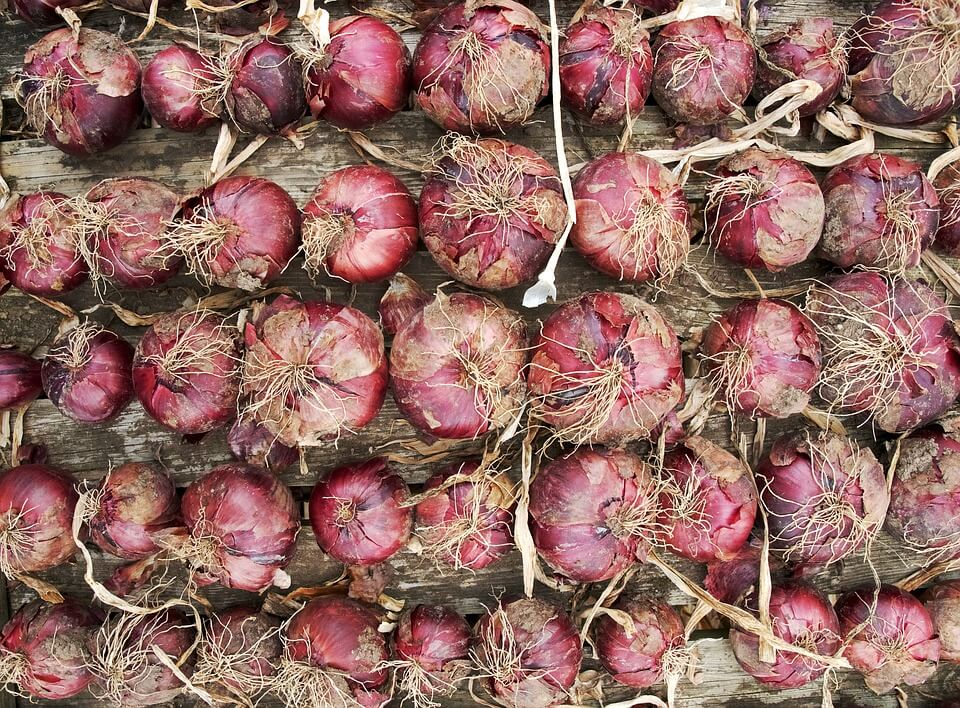 Onion Farming In Kenya