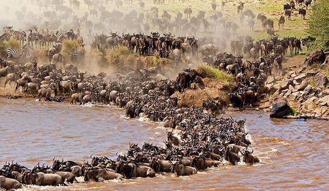 The Great Wildebeest Migration in Maasai Mara National Park