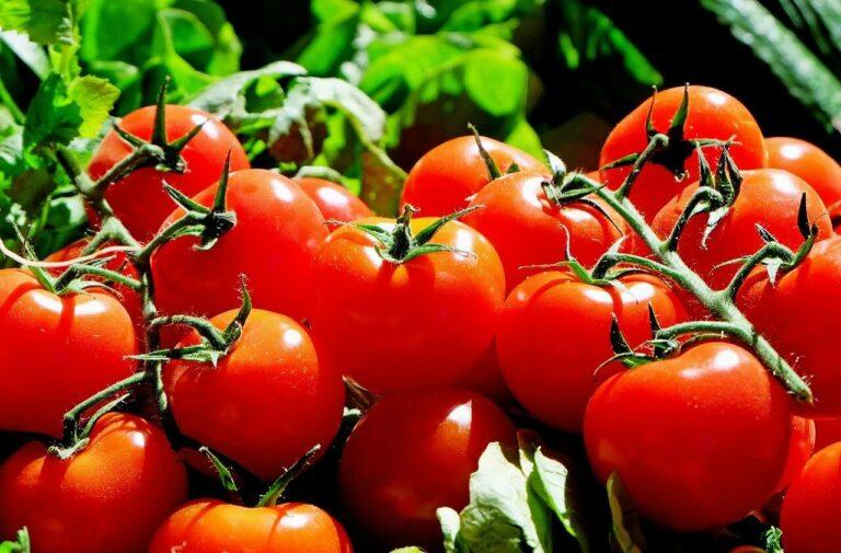 Beginners' Guide on Tomato Farming in Kenya
