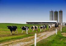 Dairy farming in Kenya
