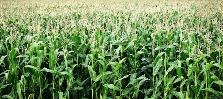 Crop farming in Kenya Basics and Modern Day Practices