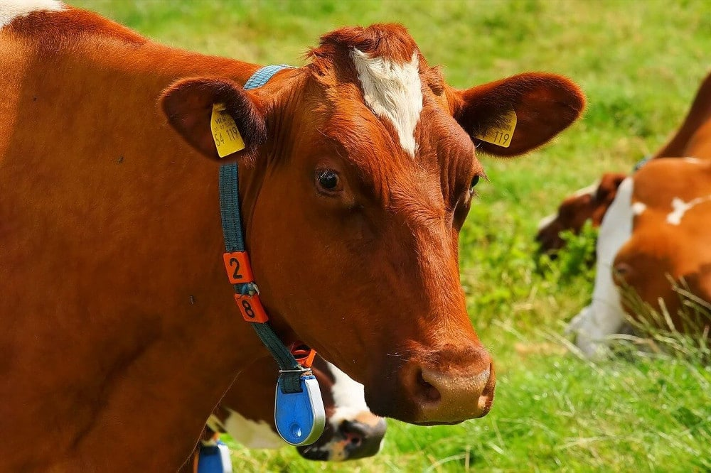 Livestock Farming in Kenya (The Ultimate Guide)