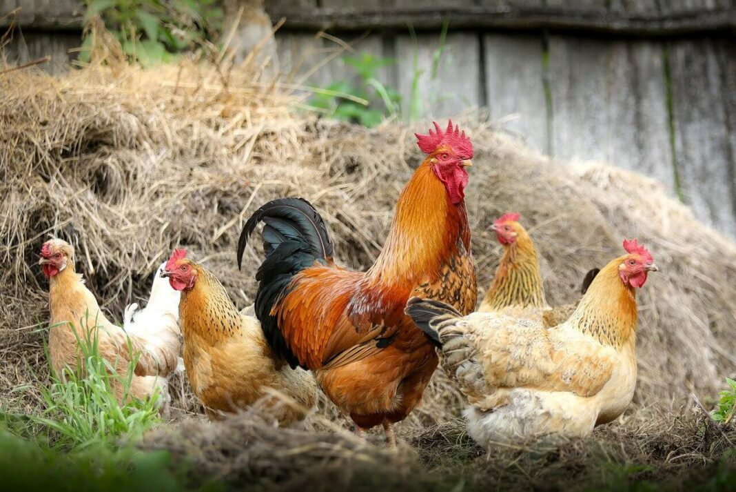 Chicken Diseases and Treatment in Kenya