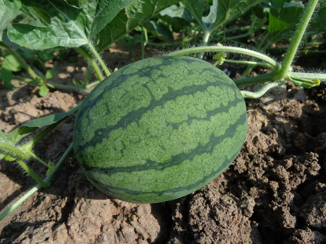 Irrigated Watermelons