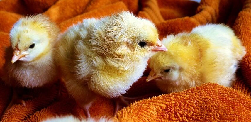 Infectious Poultry Diseases